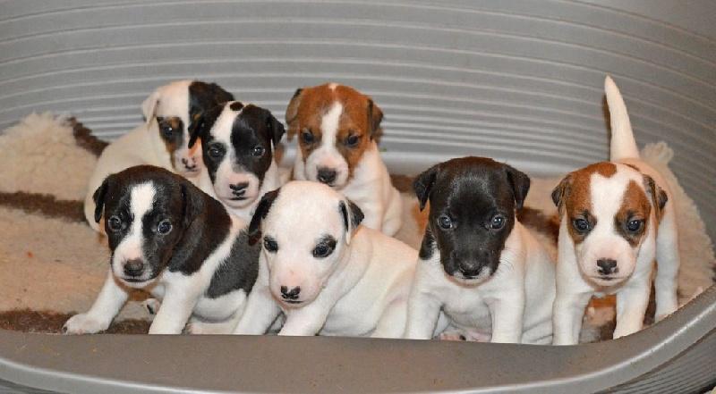 Du Jardin D'inuko - Parson Russell Terrier - Portée née le 08/10/2016