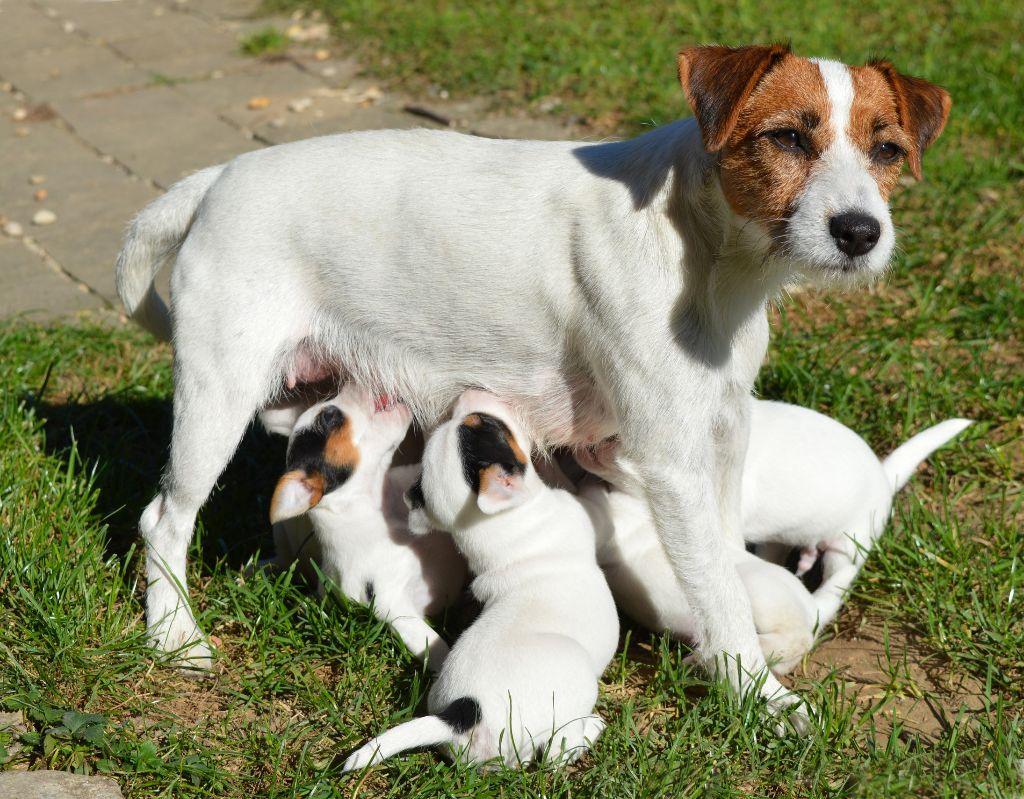chiot Parson Russell Terrier Du Jardin D'inuko