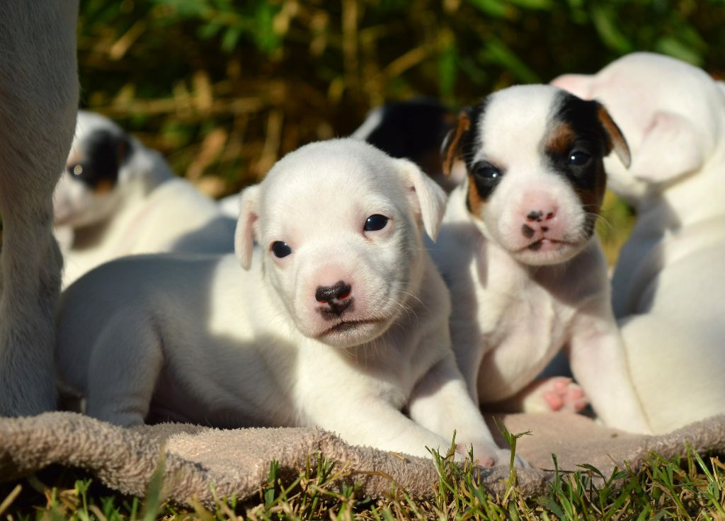 Du Jardin D'inuko - Chiot disponible  - Parson Russell Terrier