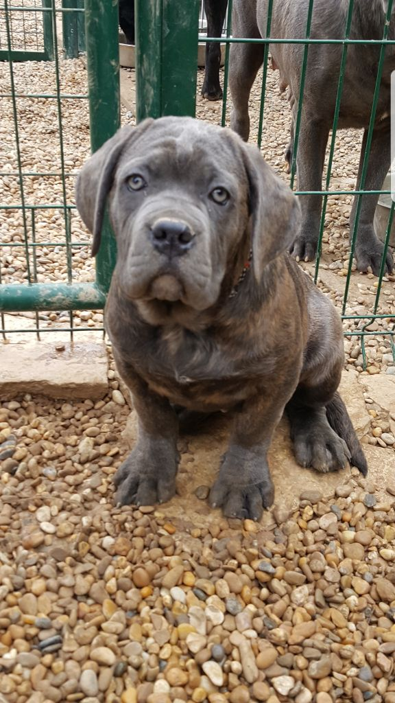 Du Royaume D'Haven - Chiot disponible  - Cane Corso
