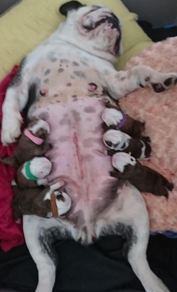 Stocky Family - Bulldog Anglais - Portée née le 18/06/2019