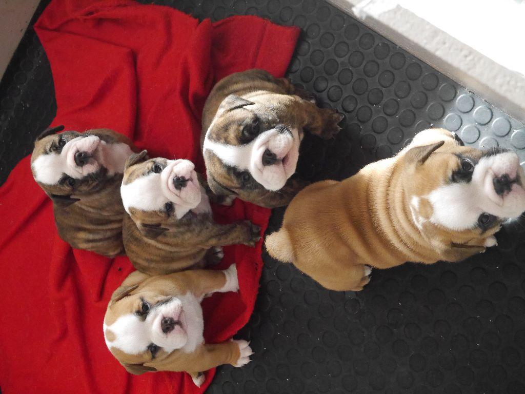 Stocky Family - Bulldog Anglais - Portée née le 04/07/2018
