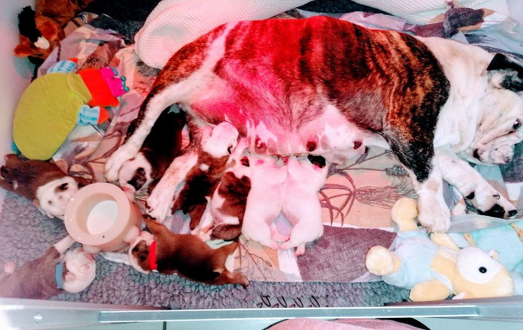Stocky Family - Bulldog Anglais - Portée née le 24/09/2020