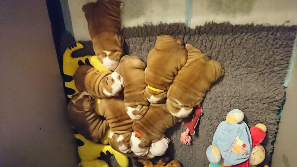 Stocky Family - Bulldog Anglais - Portée née le 02/10/2018