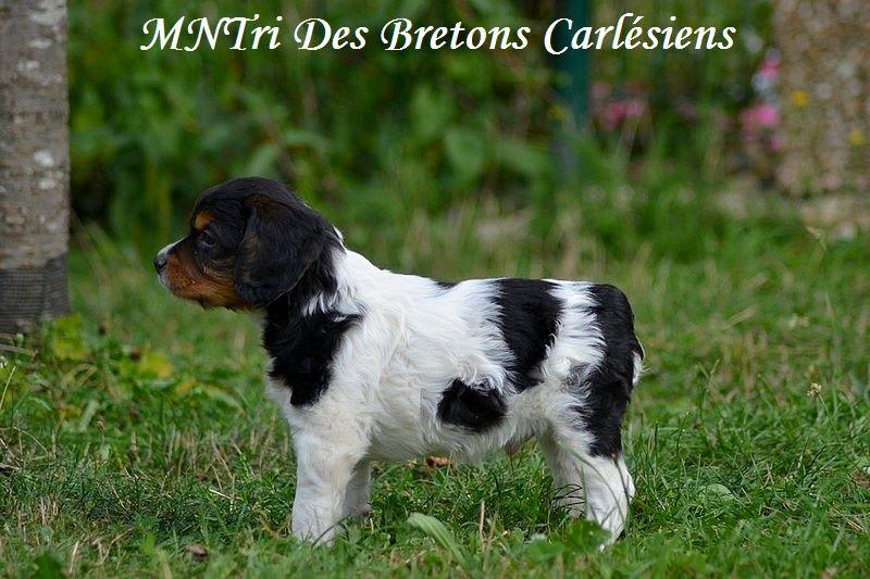 Des Bretons Carlésiens - Chiot disponible  - Epagneul Breton