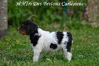 Des Bretons Carlésiens - Epagneul Breton - Portée née le 20/07/2019