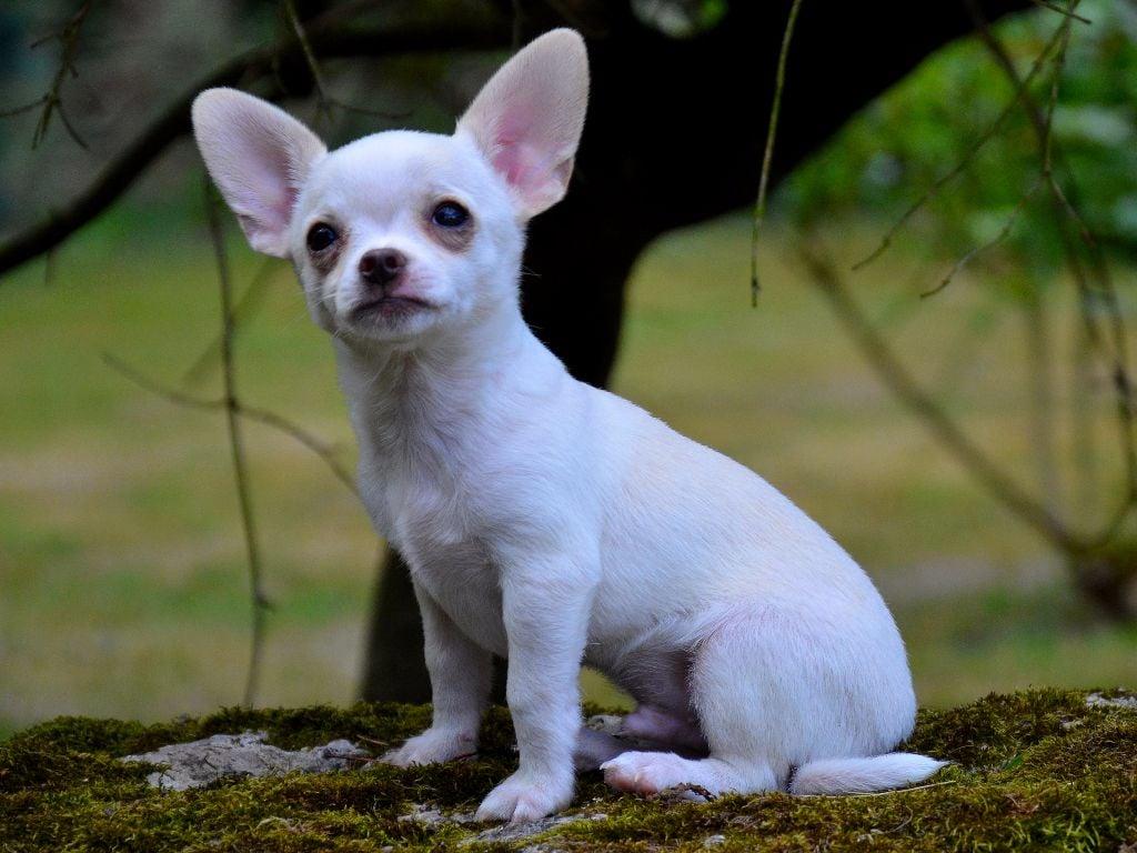 Des Aluxes Mayas - Chiot disponible  - Chihuahua