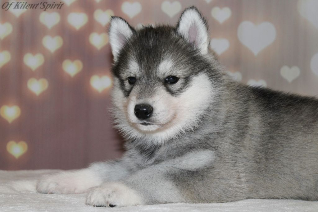 of Kileut'spirit - Chiot disponible  - Siberian Husky
