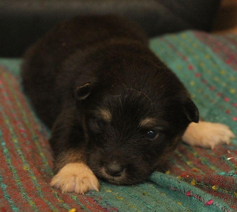 chiot chien finnois de laponie femelle disponible en bretagne 29 finistere toutes les. Black Bedroom Furniture Sets. Home Design Ideas