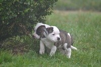 Staffordshire Bull Terrier - De L'ile Aux Bulls