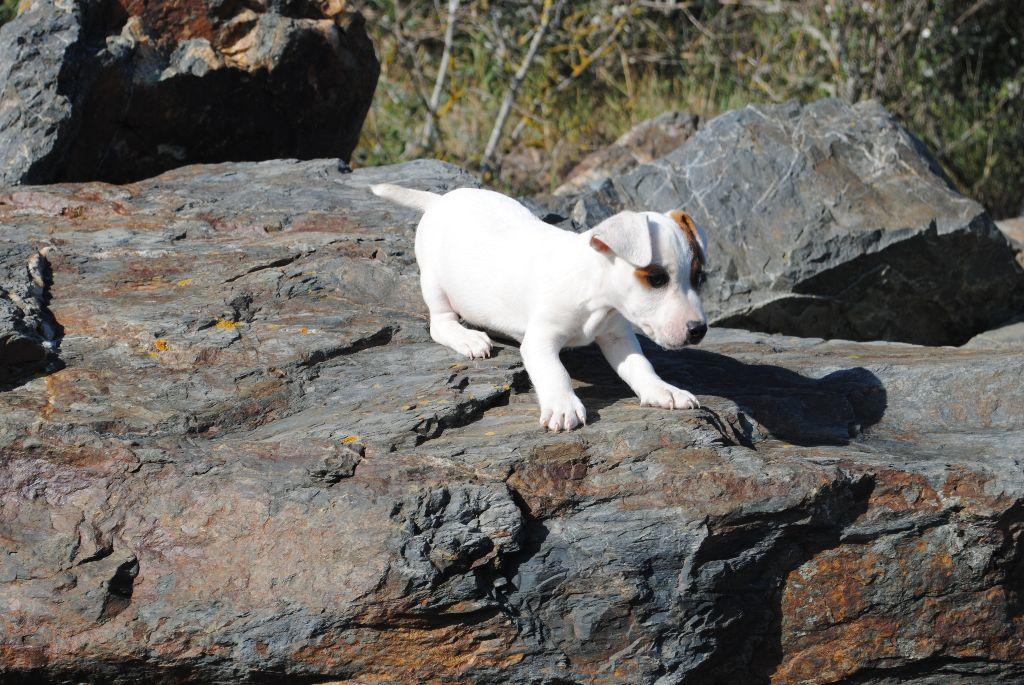 NIKOS - Jack Russell Terrier