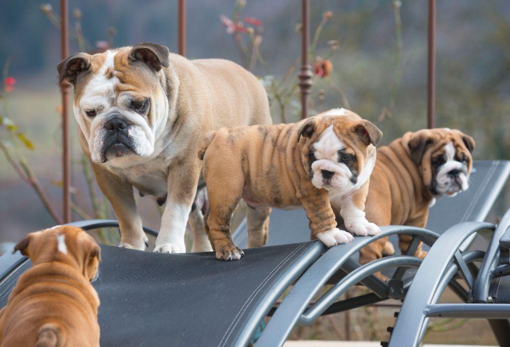 De La Combe Rousse - Bulldog Anglais - Portée née le 25/10/2018