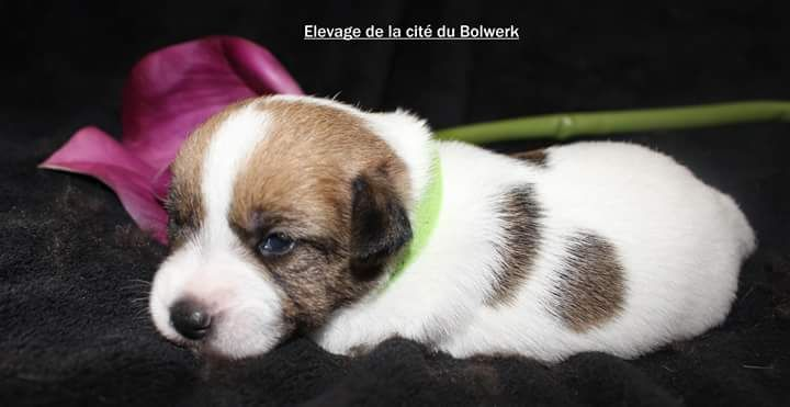 De La Cité Du Bolwerk - Chiot disponible  - Jack Russell Terrier