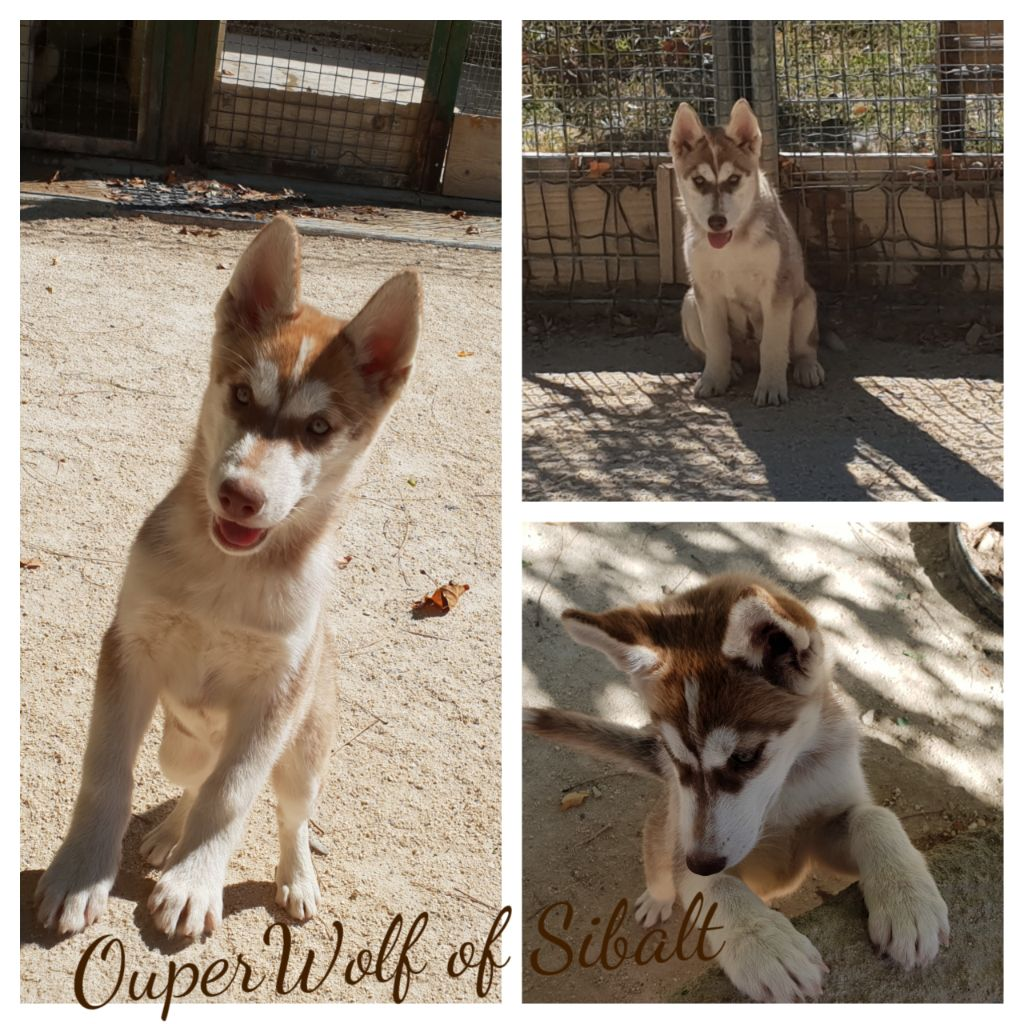 Wolf Of Sibalt - Chiot disponible  - Siberian Husky