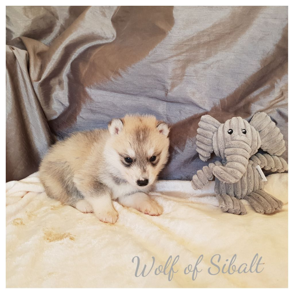 Wolf Of Sibalt - Chiot disponible  - Siberian Husky