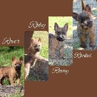 Cairn Terrier - De La Truffe D'elite