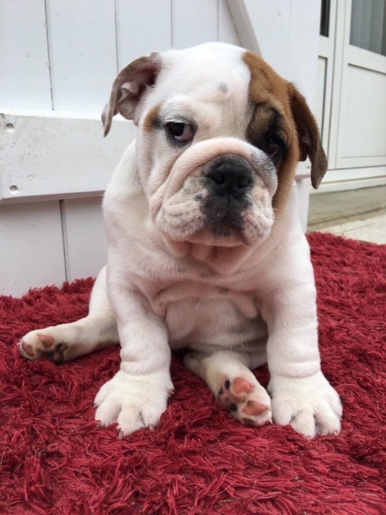 Of Feeling Good Bulldogs - Chiot disponible  - Bulldog Anglais