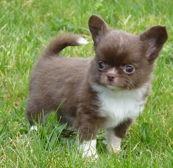 Ness - Chihuahua