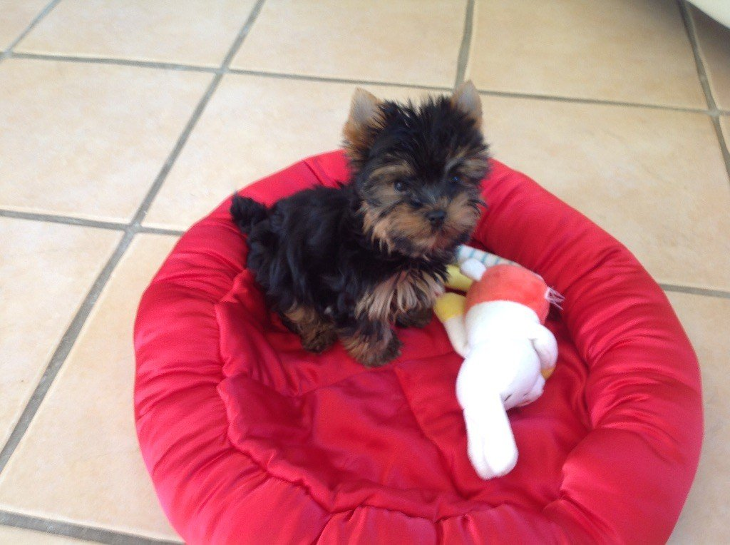 Paco - Yorkshire Terrier