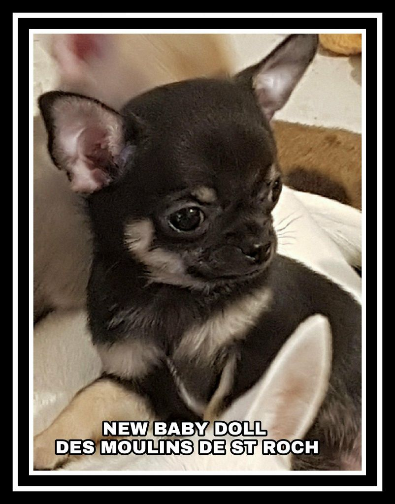 New baby doll - Chihuahua