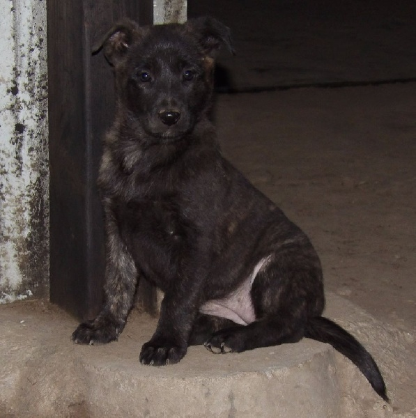 Way of Contines - Chiot disponible  - Berger hollandais
