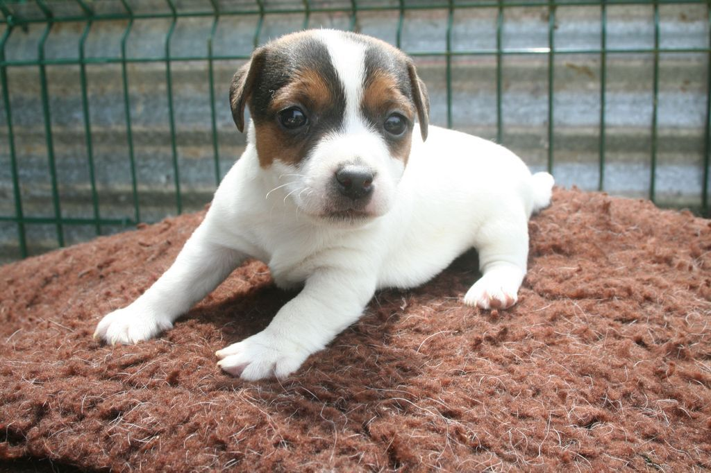 CHIOT 2 - Jack Russell Terrier