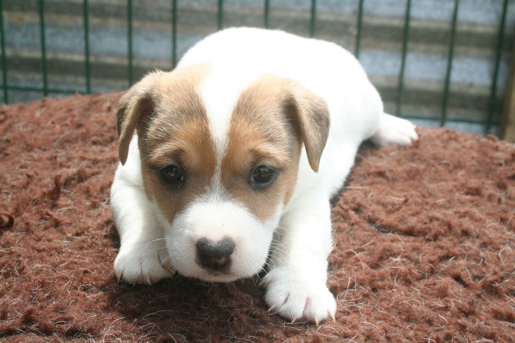 CHIOT 3 - Jack Russell Terrier