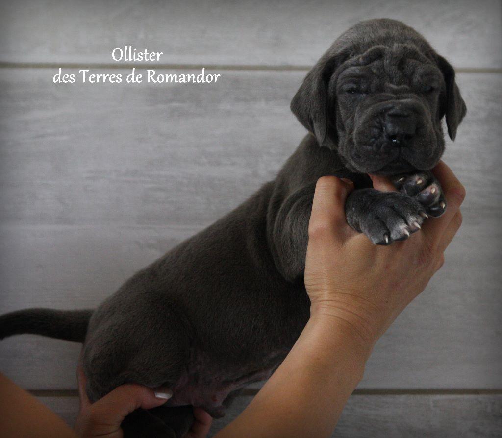 Des Terres De Romandor - Chiot disponible  - Dogue allemand