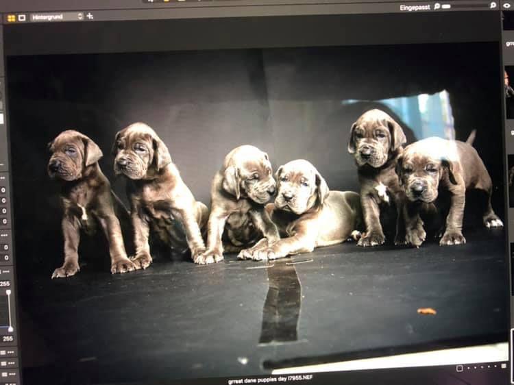 Des Terres De Romandor - Dogue allemand - Portée née le 12/07/2019