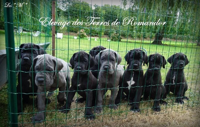 Des Terres De Romandor - Dogue allemand - Portée née le 26/07/2016