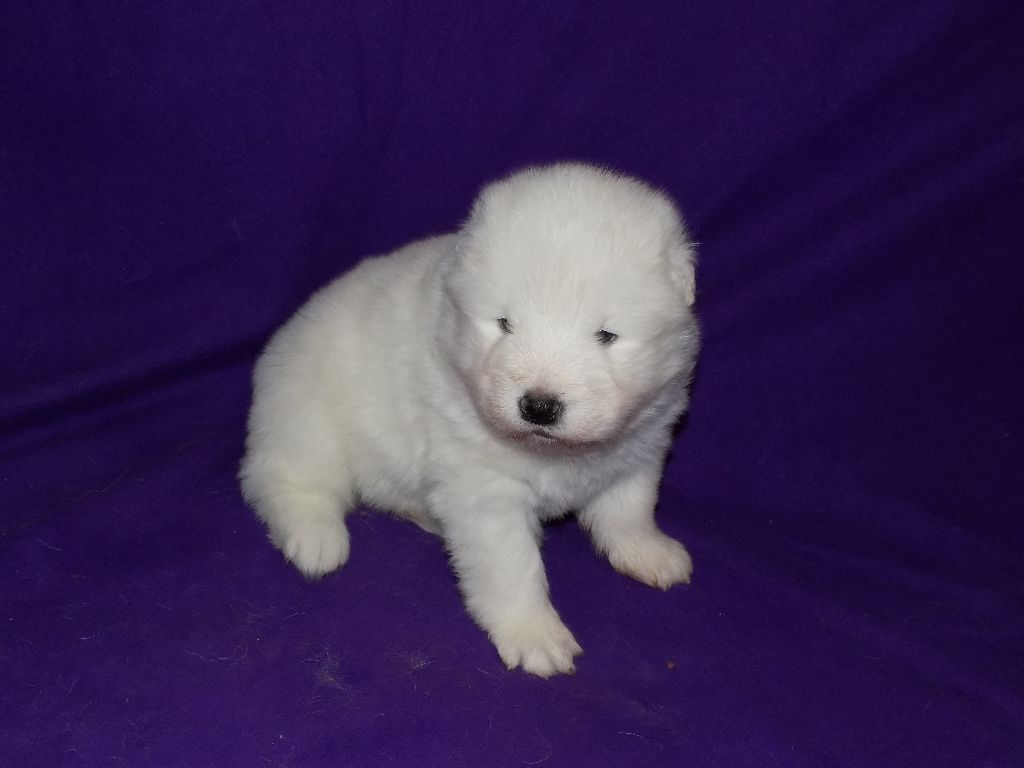 Of Baiwells Royal Aussies - Chiot disponible  - Samoyède