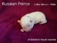 Samoyède - RUSSIAN - Of Baiwells Royal Aussies