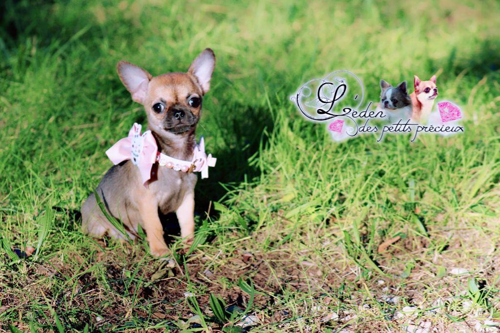 De L'Eden Des Petits Precieux - Chiot disponible  - Chihuahua
