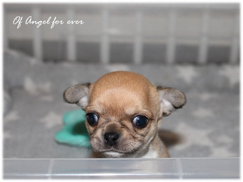 Of Angel For Ever - Chiot disponible  - Chihuahua