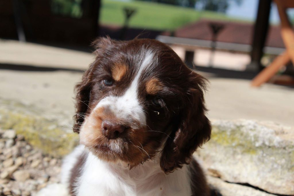 oh my darling clementine - Cocker Spaniel Anglais