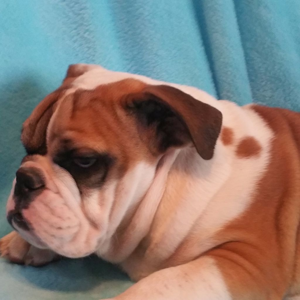 Du Domaine De Simba - Chiot disponible  - Bulldog Anglais