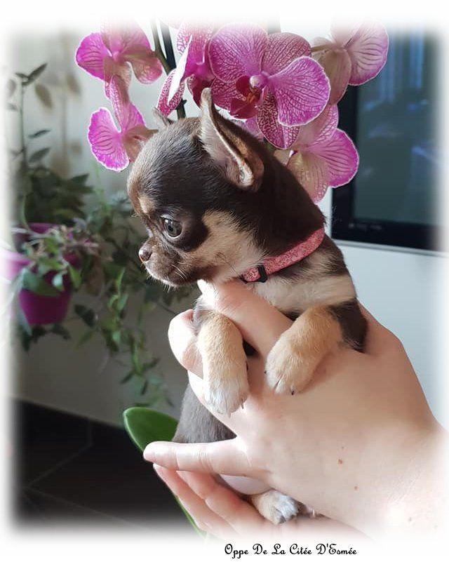 Du Secret Des Dieux - Chiot disponible  - Chihuahua