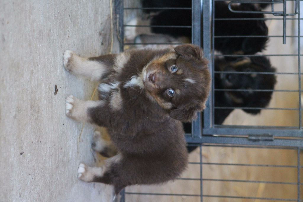 Good Spotted Paradise - Chiot disponible  - Berger Australien