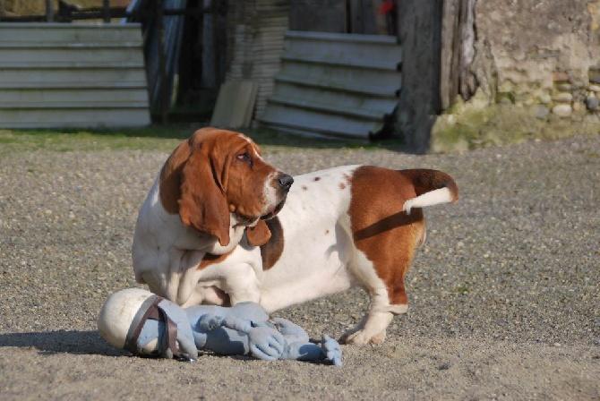 Accueil elevage little boss eleveur de chiens basset hound - Petit basset hound angers ...