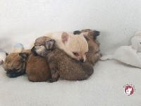 Chihuahua - des Louveteaux De Nasca
