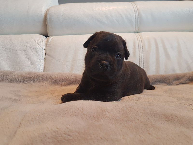 OBAMA du Royaume d'Azur - Staffordshire Bull Terrier