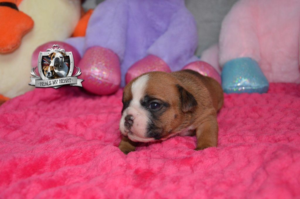 Heals My Heart - Chiot disponible  - Bulldog Anglais