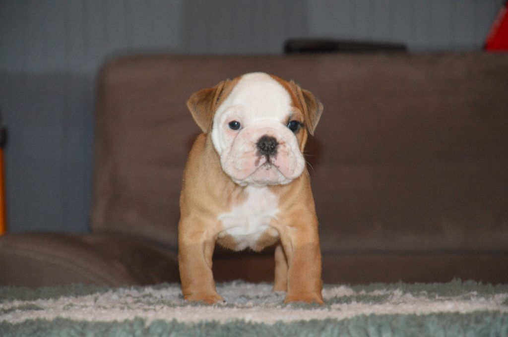 Heals My Heart - Chiot disponible  - Bulldog Anglais