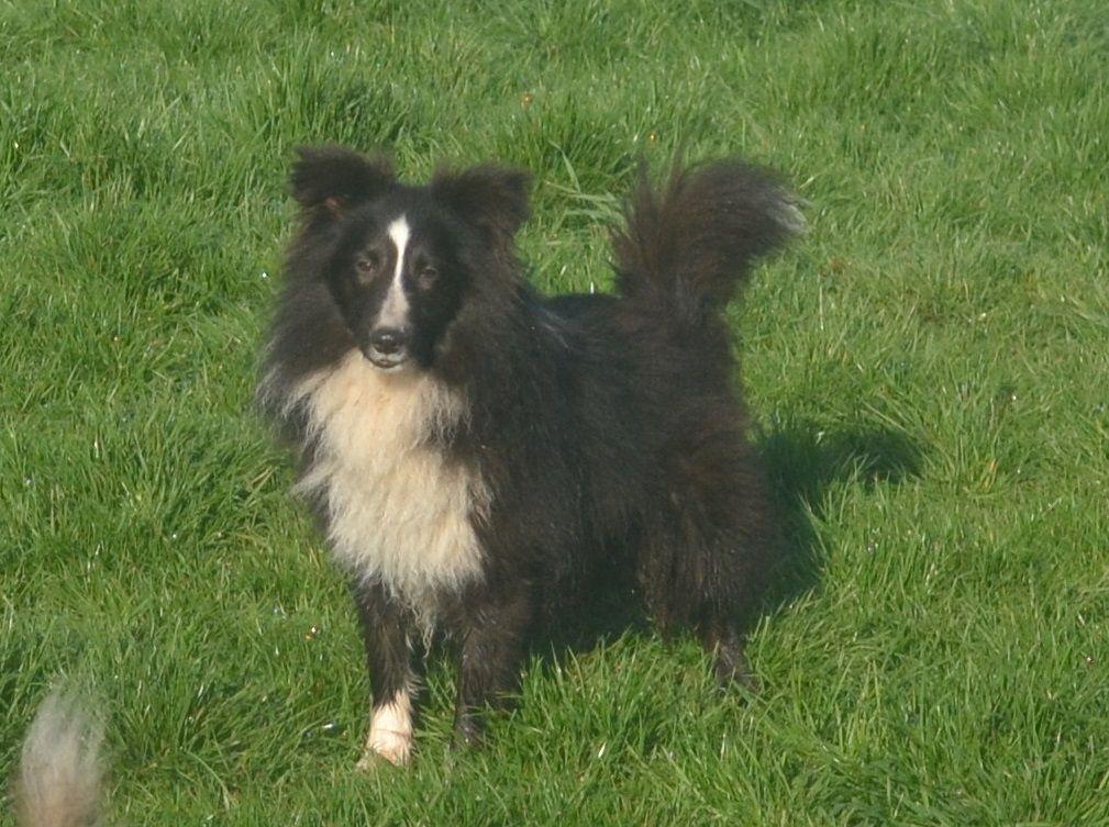NERON - Shetland Sheepdog