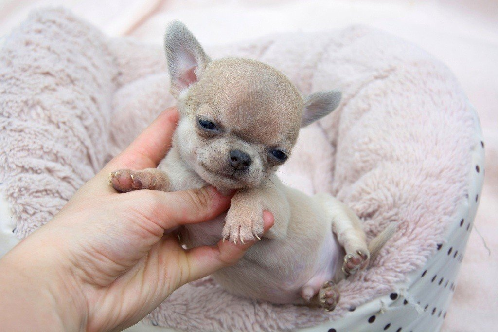 French Style - Chiot disponible  - Chihuahua