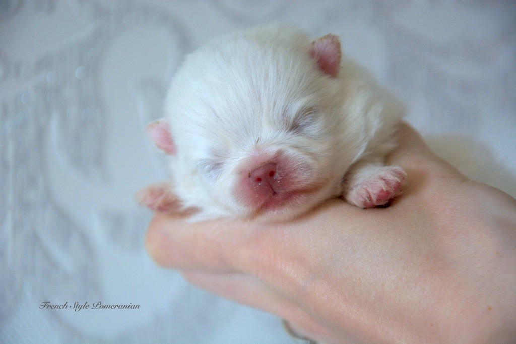 French Style - Chiot disponible  - Spitz allemand