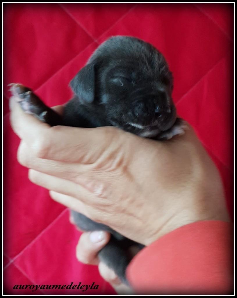 Au Royaume De Leyla - Chiot disponible  - Dogue allemand