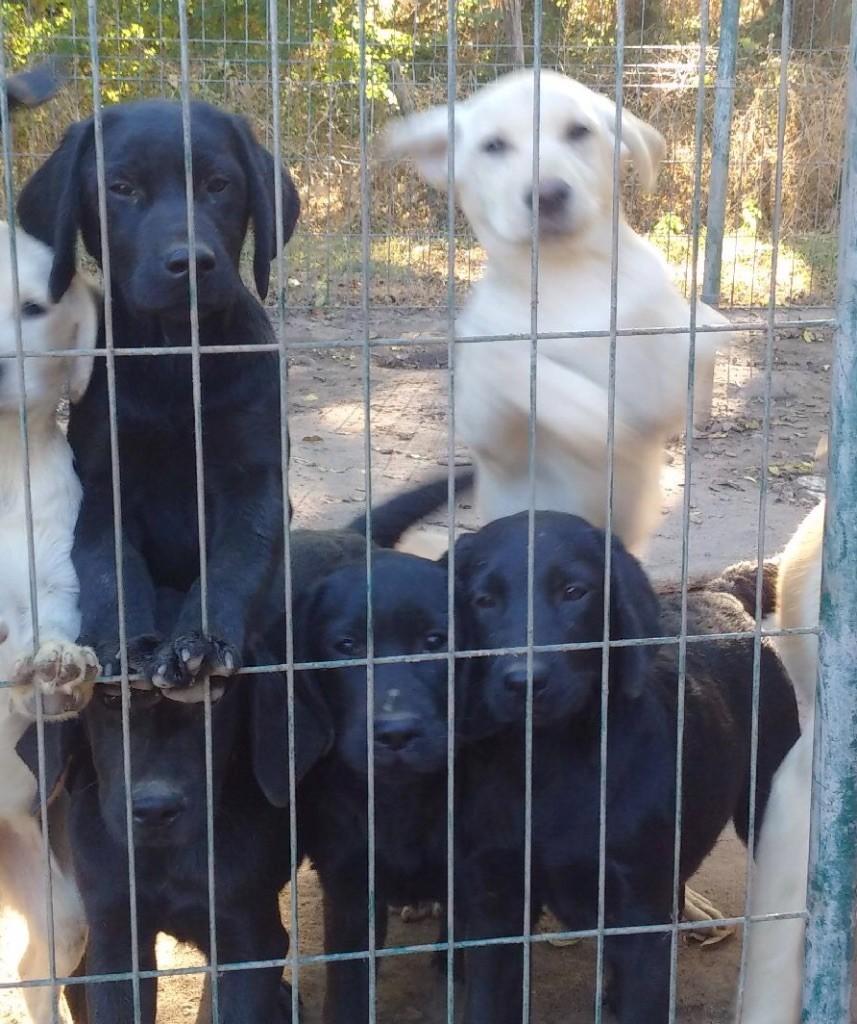 Des Yeux Doux - Chiot disponible  - Labrador Retriever