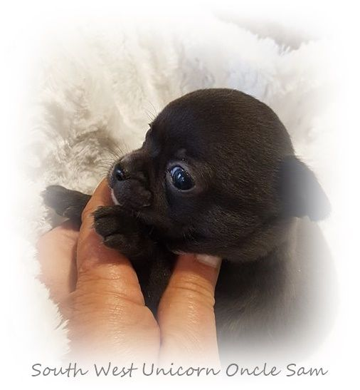 South West Unicorn - Chiot disponible  - Chihuahua