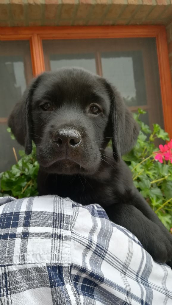 Du Marais De La Fritillaire - Chiot disponible  - Labrador Retriever